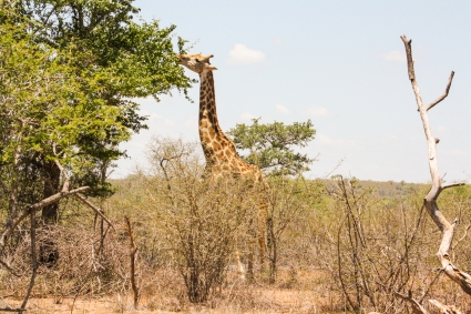 Giraffe in Kruger Park, South Africa